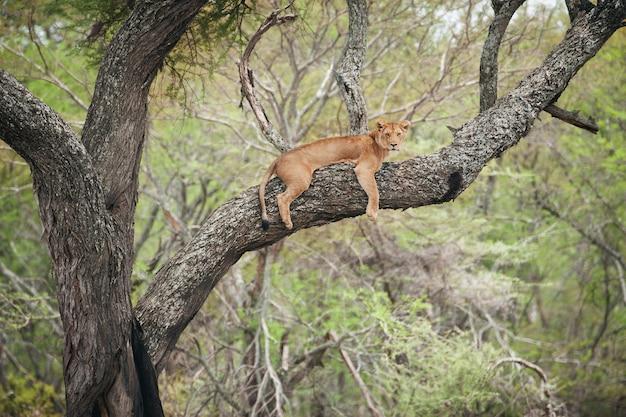 Lwica W Gałęziach Drzewa W Afryce Premium Zdjęcia