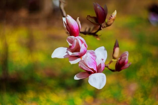 Magnoliowy Okwitnięcie W Goodale Parku W Kolumb, Ohio Premium Zdjęcia
