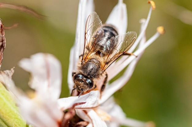Makro- Fotografia Pszczoła Na Białym Kwiacie Premium Zdjęcia