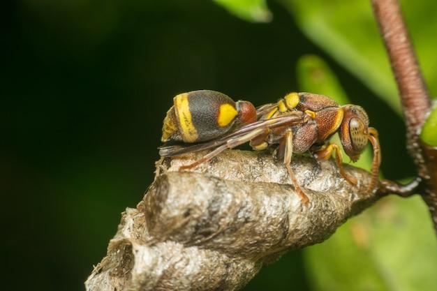 Makro Hymenoptera To Duża Grupa Owadów, W Tym Błonkówki Premium Zdjęcia