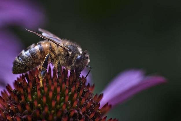 Makro- Strzał Pszczoła Na Egzotycznym Purpurowym Kwiacie Z Zamazaną ścianą Darmowe Zdjęcia