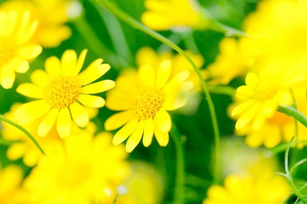 Makro żółtego kwiatu - złoty marguerite - żółty rumianek [anthemis tinctoria] Premium Zdjęcia