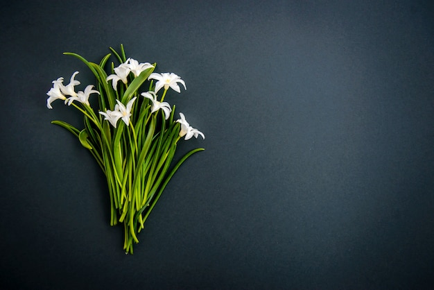 Mała Biała Chionodoxa Kwitnie Na Ciemnozielonym Tle Premium Zdjęcia