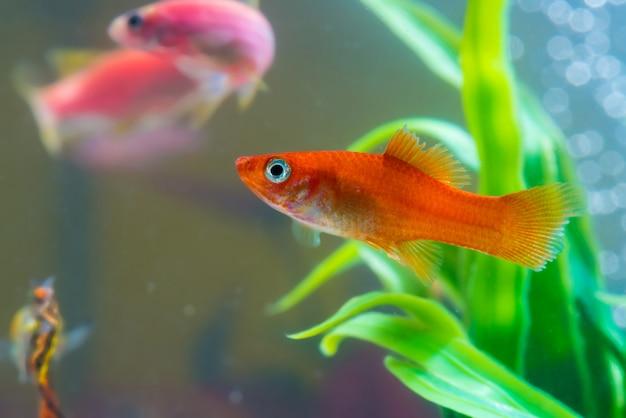 Mała Czerwona Ryba Z Zieloną Rośliną W Akwarium Lub Akwarium Premium Zdjęcia