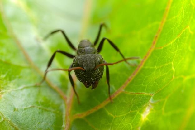 Mała Mrówka Na Liściu Premium Zdjęcia