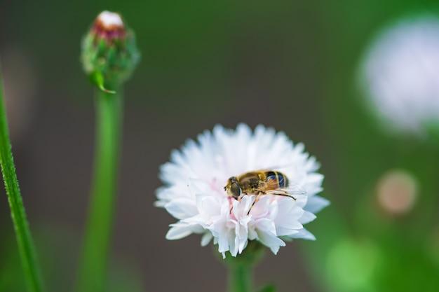 Mała Pszczoła Zbiera Nektar Z Białego Kwiatu W Słoneczny Dzień W Lecie. Premium Zdjęcia
