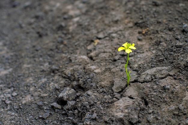 Mała Roślina Z żółtym Kwiatem Rośnie W Suszonej Ziemi, Koncepcja Konfrontacji Premium Zdjęcia