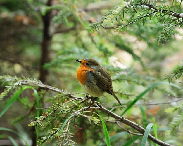 Mała Ruffled Robin Chick Premium Zdjęcia
