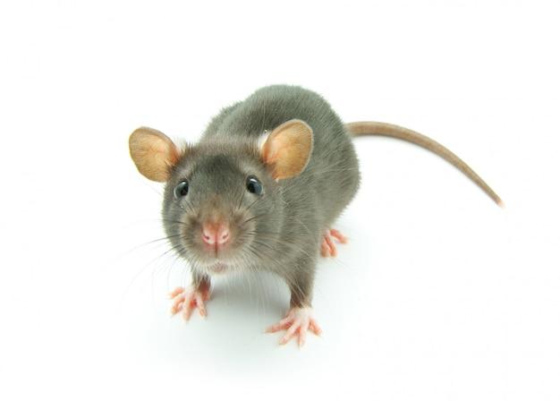 Mała Szara Mysz Premium Zdjęcia