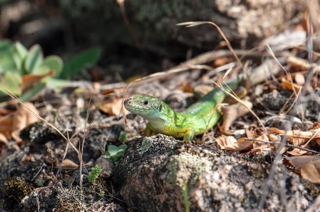 Mała Zielona Jaszczurka Wygrzewa Się W Słońcu. Premium Zdjęcia