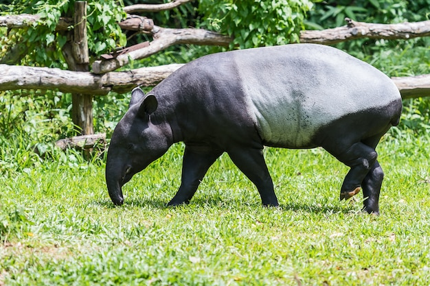 Malajski tapir w zoo. Premium Zdjęcia