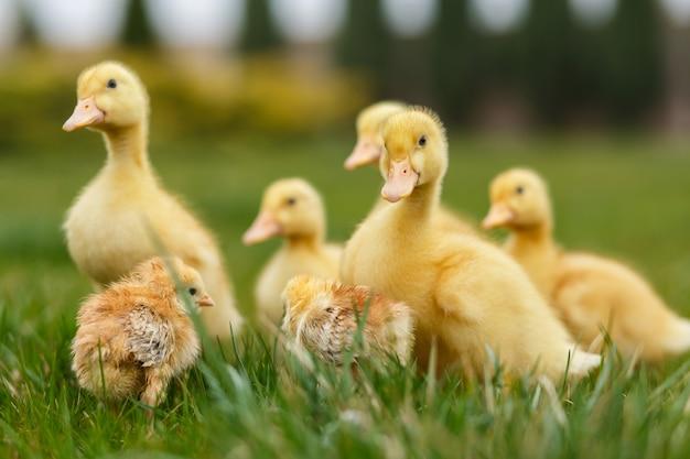 Małe Kaczątka I Kurczaki Na Zielonym Trawniku. Premium Zdjęcia
