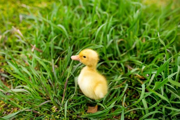 Małe Kaczątko W Zielonej Trawie Premium Zdjęcia