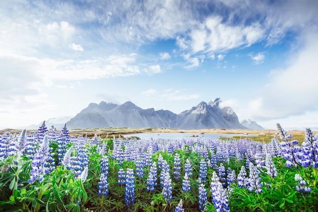 Malownicze krajobrazy lasów i gór islandii. dziki błękitny łubin kwitnie w lecie Premium Zdjęcia