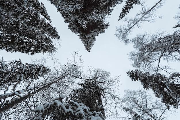 Malowniczy Las Sosnowy Pokryty śniegiem W Parku Narodowym Oulanka W Finlandii Darmowe Zdjęcia