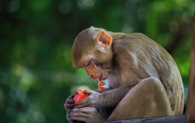 Małpa rhesus macaque Premium Zdjęcia