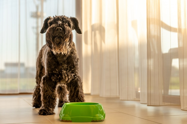 Mały Czarny Pies W Domu Przy Misce Z Wodą Lub Jedzeniem Premium Zdjęcia