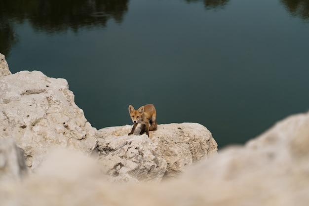 Mały Lis Opalający Się Na Białym Kamieniu W Pobliżu Wody W Naturze. Darmowe Zdjęcia