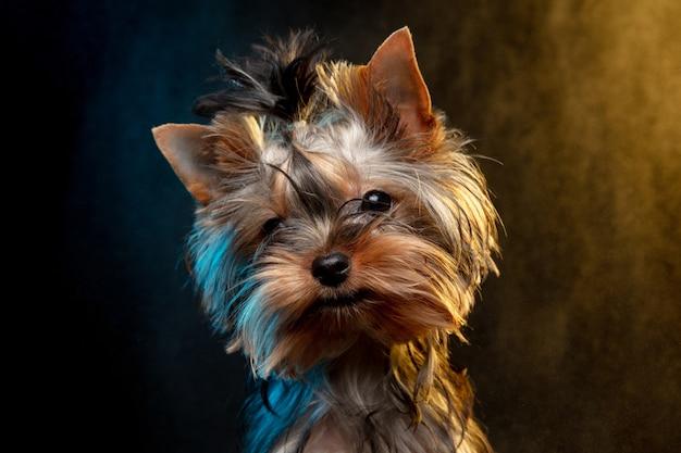 Mały Pies Chihuahua Pozowanie Jak Jelenie Boże Narodzenie Na Białym Tle. Darmowe Zdjęcia