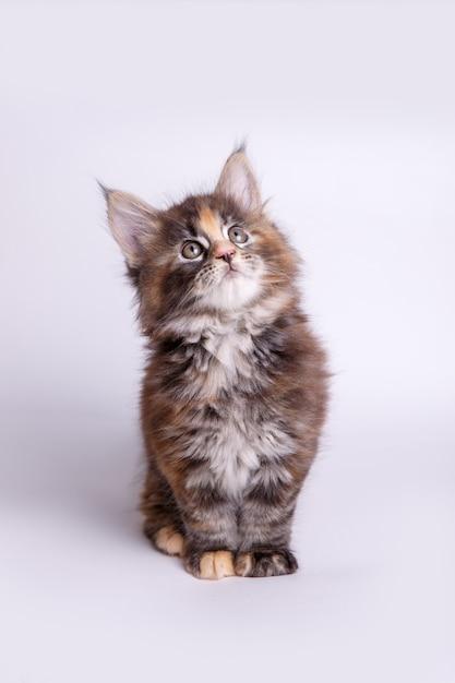 Mały puszysty kotek maine coon Premium Zdjęcia