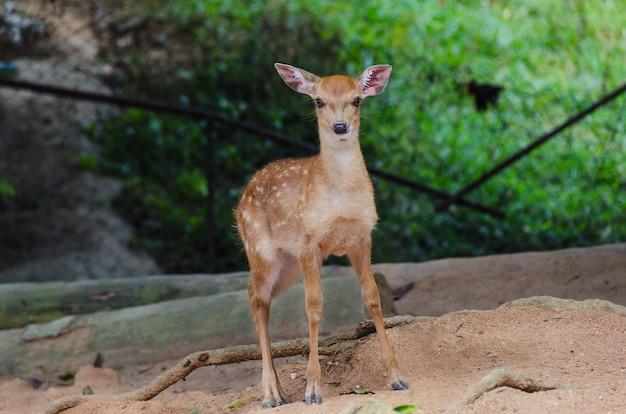 Mały Rogacz W Zoo, Zbliżenie Premium Zdjęcia