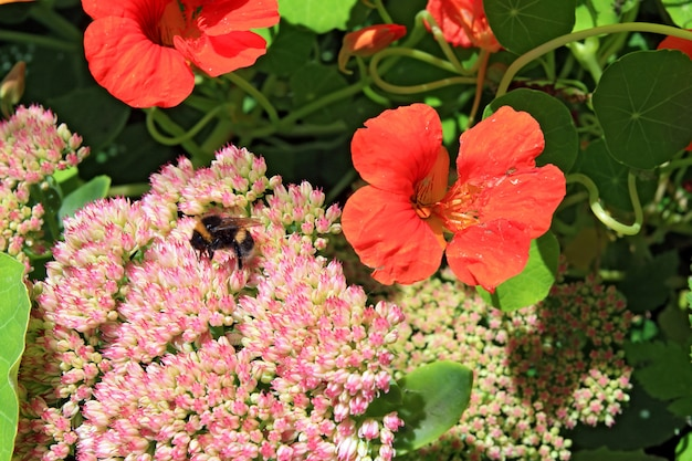 Mały Szerszeń Na Jesienne Kwiaty Premium Zdjęcia