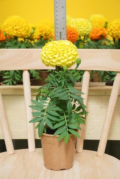 Marigolds Yellow Color (aksamitka Erecta, Nagietek Meksykański, Nagietek Aztecki, Nagietek Afrykański), Nagietek Doniczkowy Premium Zdjęcia
