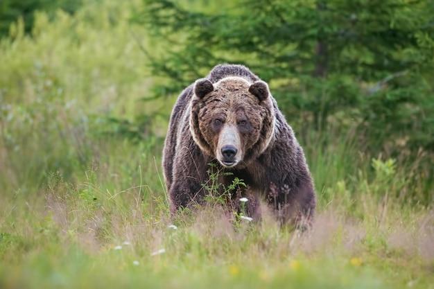 Masywny, Agresywny Męski Niedźwiedź Brunatny. Ursus Arctos. Na Letniej łące. Premium Zdjęcia