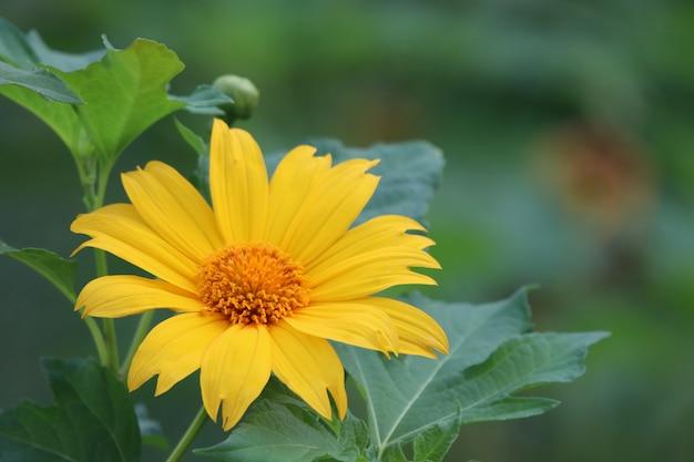 Meksykańskiego Słonecznika świrzepy Wiosny Czas Piękny Kolor Z Liśćmi W Natury Tle Premium Zdjęcia