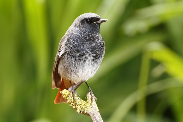 Mężczyzna Redstart, Phoenicurus Ochruros Darmowe Zdjęcia