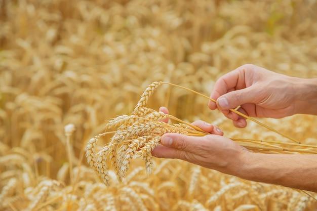 Mężczyzna z kłoskami pszenicy w ręku. Premium Zdjęcia