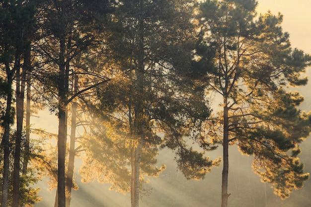 Mglisty poranek wschód słońca z sosny i promień światła w lesie, tło natura Premium Zdjęcia