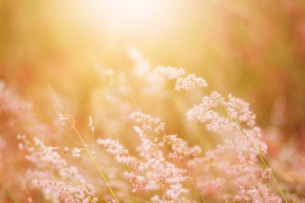 Miękka Ostrość Piękna Trawa Kwitnie W Naturalnym światła Słonecznego Tle Premium Zdjęcia