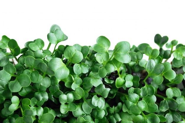 Mikrozielony Rzodkiew. Zielony Liść Tekstury Zakończenie Up Odizolowywający Na Bielu Premium Zdjęcia