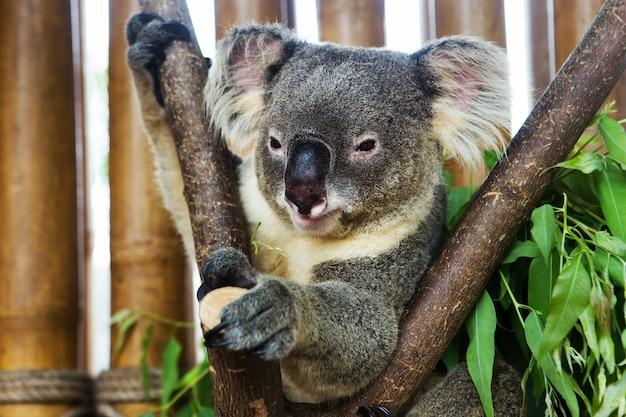 Miś Koala W Zoo Premium Zdjęcia