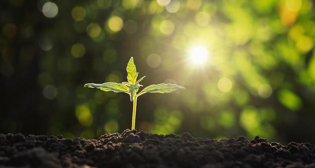 Młoda Roślina Marihuany W Ogródzie Z światłem Słonecznym Premium Zdjęcia