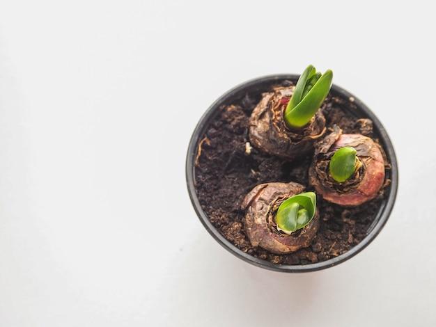 Młoda Roślina W Rękach. Sadzenie Bulwiastych Roślin, Tulipanów, Hiacyntów. Premium Zdjęcia