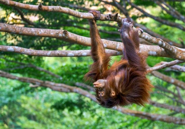 Młody chłopiec orangutan jest psotny na drzewie. Premium Zdjęcia