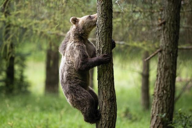 Młody Niedźwiedź Brunatny Wspina Się Na Drzewo W Lesie Latem Premium Zdjęcia
