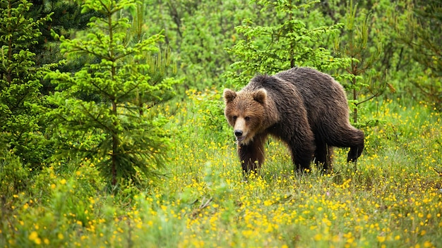 Młody Niedźwiedź Chodzi W Naturalnym środowisku Polany Premium Zdjęcia