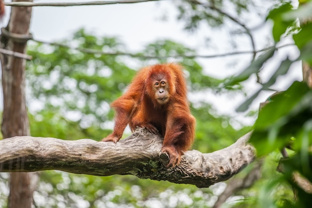 Młody Orangutan Na Siedzącym Drzewie Premium Zdjęcia