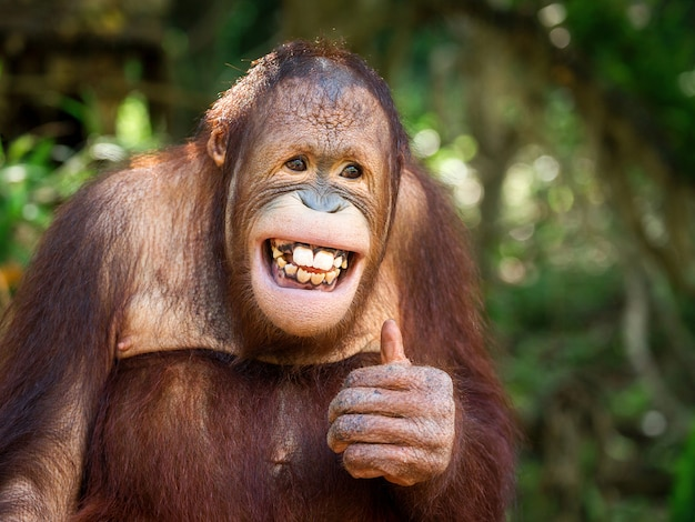 Młody orangutan uśmiechnął się i zachowywał jak. Premium Zdjęcia
