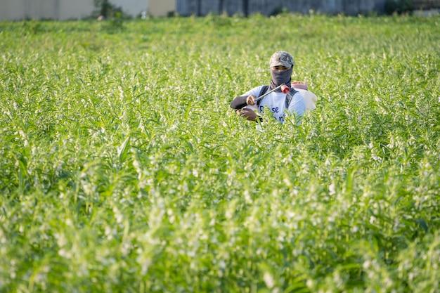 Młody Pan Rolnik Rozpyla Pestycydy (chemikalia Rolnicze) Na Własnym Polu Sezamu, Aby Zapobiec Szkodnikom I Chorobom Roślin Rano, Z Bliska, Xigang, Tainan, Tajwan Premium Zdjęcia