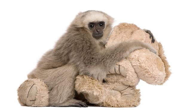 Młody Pileated Gibbon, Hylobates Pileatus, Siedzi Premium Zdjęcia