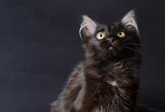 Młody uroczy czarny kot Premium Zdjęcia