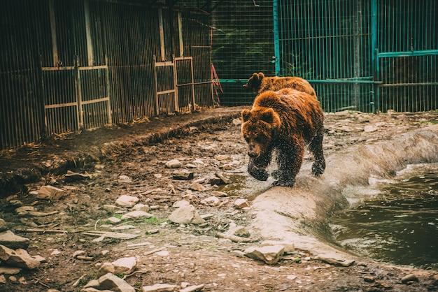 Mokry Niedźwiedź W Wodzie W Celi Premium Zdjęcia