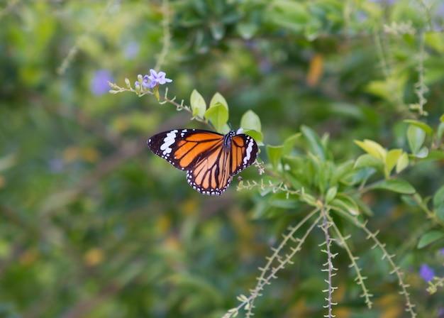 Monarch Butterfly Premium Zdjęcia