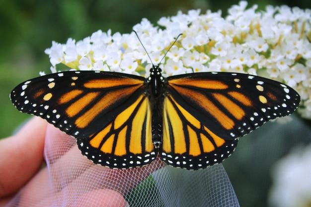 Monarcha Na Białych Kwiatach Darmowe Zdjęcia