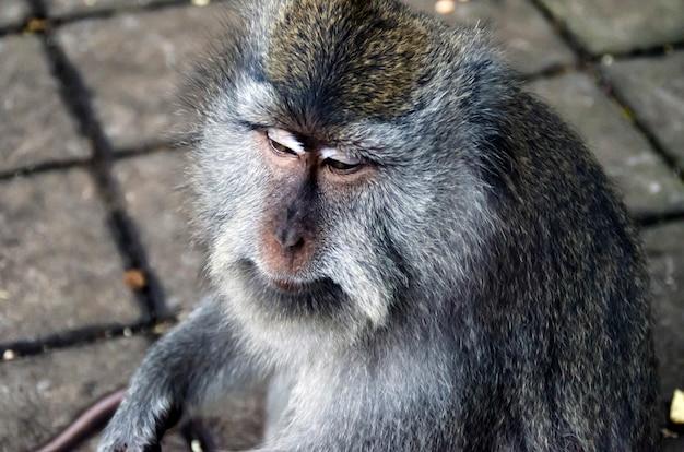Monkey On Bali, Ubud Premium Zdjęcia