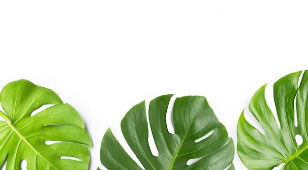 Monstera roślina opuszcza na bielu Premium Zdjęcia